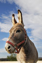 Donkey a portrait of ass with red head collar Royalty Free Stock Images