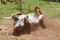 Donkey rolling in sand a female the on the farm and feeling good Stock Photography