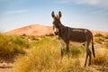 Donkey on the Sahara Desert
