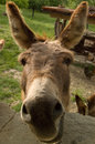 Donkey saying hello first thing in the morning and wanting some interesting snacks Royalty Free Stock Photo