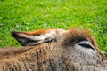 Donkey sleeping on the grass close up Stock Image