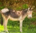 Donkey in sunshine Royalty Free Stock Photo