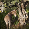 Donkey stands under old olive tree and looks back Royalty Free Stock Photo