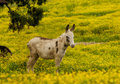 Donkey strolls through a field of yellow flowers stands in buttercups Royalty Free Stock Photos