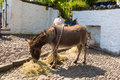 Donkey takes a rest during july heatwave in england at clovelly devon united kingdom th the saw tourists flocking to village Stock Image