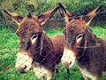 Donkeys Stock Photos