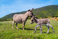 Donkeys in Asinara island in Sardinia, Italy Royalty Free Stock Photo