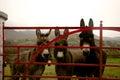 Donkeys At Gate In Ireland