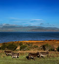 Donkeys graze on a field in county kerry ireland the dingle peninsula is visible the background Royalty Free Stock Images