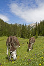 Donkeys on a meadow Stock Photography
