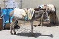Donkeys in morocco a pair of saddled at the streets of fez medina Stock Photography