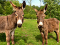 Donkeys over green field Stock Photo