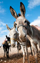 Donkeys riding tourists bedouin parked judean desert Royalty Free Stock Image