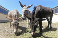 Donkeys three grazing on the farm Stock Images