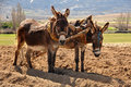 Donkeys to plow in the field two Royalty Free Stock Photo
