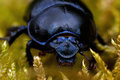 Dor beetle in moss Royalty Free Stock Photo