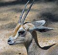 Dorcas gazelle also known as the ariel latin name gazella Royalty Free Stock Image