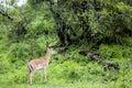 Dorcas Gazelle (Gazella dorcas neglecta) Royalty Free Stock Photo