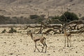 Dorcas gazelles in nature reserve biblical hai bar km north of eilat israel Stock Photo