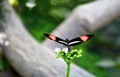 Doris butterfly with wings spread perched on a green plant Stock Photo