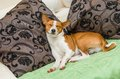 Dormant basenji dog being in sleeping pose on the sofa Stock Photo