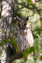Dormant long-eared owl Stock Photos