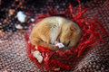 Dormouse Royalty Free Stock Photo