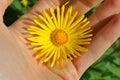 Doronicum flower Royalty Free Stock Photo