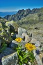 Doronicum flowers at Satan peak