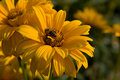 Doronicum grandiflorum Royalty Free Stock Image