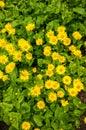 Doronicum grandiflorum Royalty Free Stock Photo