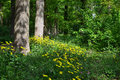 Doronicum pardalianches in the forest netherlands Stock Photography