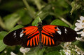 Dorsal view common postman butterfly green leaves Royalty Free Stock Photo