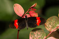 Dorsal view crimson patched longwing butterfly Royalty Free Stock Photo