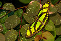 Dorsal view dido longwing butterfly green leaves Stock Photos