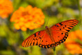 Dorsal view of a Gulf Fritillary butterfly Stock Photos