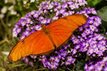 Dorsal view orange julia butterfly purple flowers Royalty Free Stock Photography