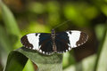 Dorsal view sapho longwing butterfly green leaf Royalty Free Stock Images