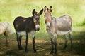 Dos donkeys Royalty Free Stock Photo