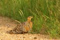 Double banded sandgrouse pterocles bicinctus in kruger national park south africa Royalty Free Stock Photos