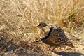 Double banded sandgrouse pterocles bicinctus in kruger national park south africa Stock Photography