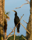 Double-Crested Cormorant Royalty Free Stock Photos