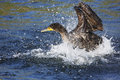 Double-Crested Cormorant Stock Photo