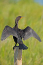 Double crested cormorant displaying it s wing span Stock Photography
