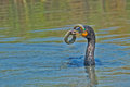 Double crested cormorant with an eel Royalty Free Stock Photography