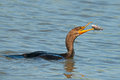 Double crested cormorant with a fish Stock Photography