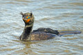 Double crested cormorant floating in the bay with funny hair Royalty Free Stock Images