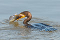 Double crested cormorant with a huge fish Stock Images