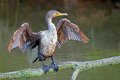 Double crested cormorant juvenile displaying it s wing span Royalty Free Stock Photos