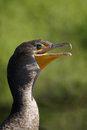 Double crested cormorant phalacrocorax auritus closeup of a coromorant everglades national park florida Stock Photography